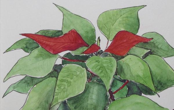 Weihnachtsstern / Poinsettia